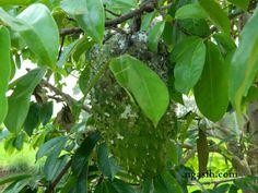 hama penyakit tanaman sirsak