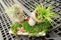 Sculpturing with air plants :-)