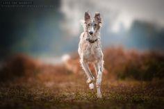 Silken Windhound, by Vicky Groebl.