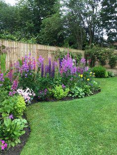 Sweet Rocket Flowers with Lupins, alliums, iris, golden feverfew, foxgloves