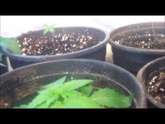 PHOTOGRAPH,VIDEO GROWING INDOOR OREGON LEGAL MARIJUANA,CANNABIS WEED