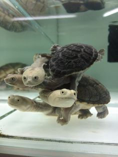 Eastern Long Necked Turtles.