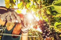 Picking grapes | 5 Great Reasons to Travel to Italy in September