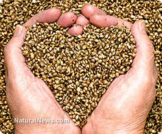 New hemp oil could be a powerful cooking alternative  Learn more: http://www.naturalnews.com/043913_hemp_oil_cooking_alternative_oleic_acid.html#ixzz2tJamUwtx
