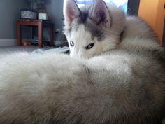 Mini Huskies, Siberian Huskies, Pomsky, Husky Puppy, Love Pet, Animals Beautiful, Fur Babies, Puppies, Pets