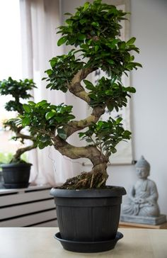 ficus microcarpa ginseng bonsai bonsai ficus garden plant types pinterest terrasse. Black Bedroom Furniture Sets. Home Design Ideas