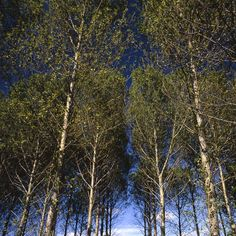 Trees, Walsham Le Willows, Art Print