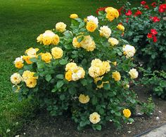 This Julia Child rose is a great choice for the garden. It blooms more than almost any rose I have, has a good fragrance, and is disease resistant.