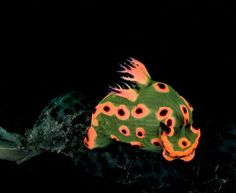 Nudibranch..a baby one