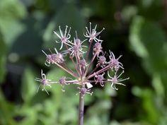 Allium alaicum Alai lauk