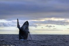 Poser: A humpback whale gives a wave for the camera while frolicking in the sea in the Gal...