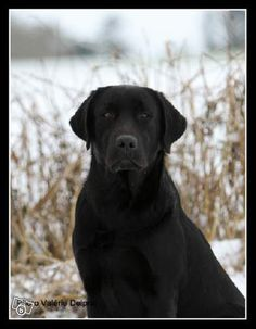 Les 160 Meilleures Images De Labrador Love Chien Animaux