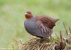 Grey Partridge by Richard Steel - BirdGuides Grey Partridge, Grouse, Bird Species, Quail, Pheasant, Bird Feathers, Beautiful Birds, Animal Kingdom, Gallery