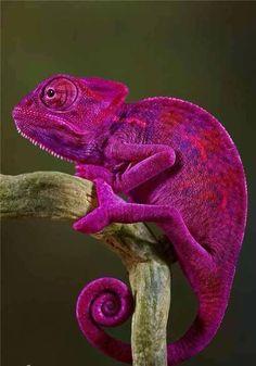 Purple chameleon - Pixdaus