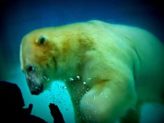 Anana the Polar Bear, Lincoln Park Zoo, Chicago - the most photogenic polar bear in the world?
