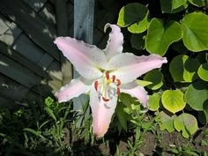 Diese wunderschöne Lilie hat kürzlich im Garten in der Nähe der Kiwis zu blühen…