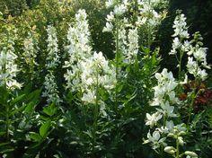 Dictamnus albus 'Albiflorus' (Vuurwerkplant). AGM. Bloeit van juni t/m augustus. Hoogte 70 cm.