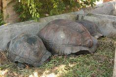 pictures of schelles | Praslin Island, Seychelles: Seychelles - Tartarughe giganti