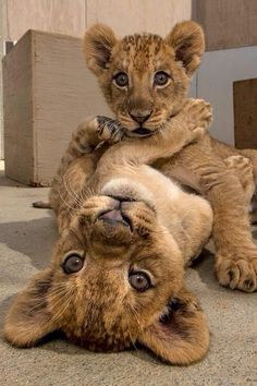 - Tiere - Katzen/Hunde/Cats/Dogs/Kittys u. Big Cats, Cats And Kittens, Cute Cats, Cute Baby Animals, Animals And Pets, Funny Animals, Animals Images, Wild Animals, Funny Cats
