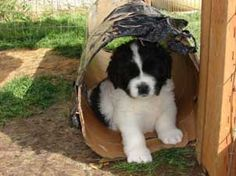 Landseer Puppy  (Looks like our Dakota!)