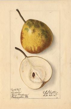lincoln.jpg (621×960) Artist: Ellen I. Schutt. From Benjamin Buckman, Farmingdale, Illinois. (Originated as a seedling from Mrs. Maria Fleming, Corwin, Illinois in 1835. See illustration in Pears of New York.), 9/24/1912