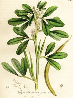 "Fenugreek, a key ingredient in Herb Pharm's Mother's Lactation™ formula. From Ed Smith's personal library: Stephenson & Churchill, ""Medical Botany"": 1834-1836"