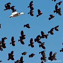 Red-winged blackbirds and snow goose...SPRING ARRIVES!