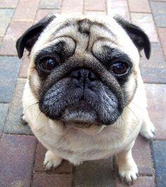 Paul, Mops #Hund #dog #widPet