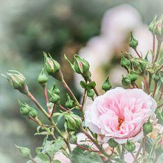 #flower #flowers #flowerstagram #ig_flowers #summer #rose