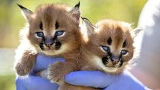All births are considered special but none more so than two rare Caracal wildcats bred for the first time in Australia. The now three-week old twins were born at the Wild Cat Conservations Centre on the outskirts of Sydney. Small Wild Cats, Small Cat, Big Cats, Caracal Kittens, Cats And Kittens, Wild Cat Species, Time In Australia, Kitten Breeds, Wildlife