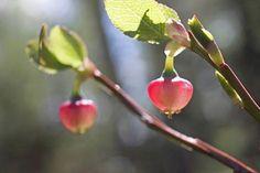 Mustikan kukka, kuvaaja Ari Kekki Finland, Fruit, Vegetables, Nature, Animals, Naturaleza, Animales, Animaux, Vegetable Recipes