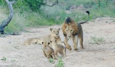 Play nicely with the kids! Daddy lion gets a ticking off from mum after getting a bit too rough with their cubs  Read more: http://www.dailymail.co.uk/news/article-2549650/Play-nicely-kids-Daddy-lion-gets-ticking-mum-getting-bit-rough-cubs.html#ixzz2s0xavlD2  Follow us: @MailOnline on Twitter | DailyMail on Facebook