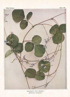 PURPLE TREFOIL Antique Botanical Wildflower Art Print for herbalist, gardener, naturalist Vintage nature print, garden print, Antique floral by LeslieDavisDecor on Etsy