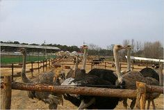 Ostrich Safari. If riding on an ostrich is on your bucket list, here's how you do it! http://www.ostrichsafari.com/