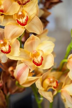 wholesale gold cymbidium orchids