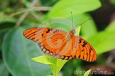 Gulf Fritallary butterfly, aka agraulis vanillae, on a plant in Cuba. This butterfly is found from the southern United States to Argentina and is very common on this Caribbean island. Butterfly On Flower, Cuba, Caribbean, Southern, United States, The Unit, Plants, Argentina, Plant