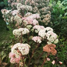 """""""Sedum Matrona. A taller growing sedum reaching 1.2m tall topped with light pink flower heads. The stems are burgundy in color and compliment the leaves…"""""""