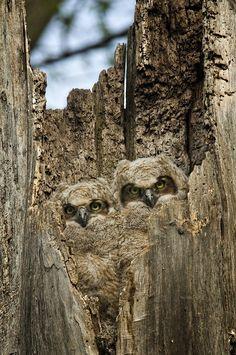 These are stunning examples of owl camouflage - Buzz-inn. Beautiful Owl, Animals Beautiful, Cute Animals, Owl Bird, Pet Birds, Photo Animaliere, Tier Fotos, Baby Owls, Owl Babies