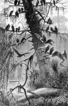 Turkey buzzards waiting for an alligator to decompose. By Harry Fenn, Early 19th century