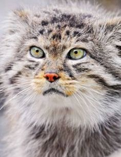 This is a Manul cat or Pallas as it's sometimes called, stunning don't you think?