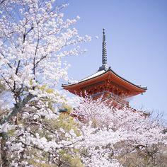 「桜|cherry blossoms  夜の特別拝観|Special night opening in spring 2015 3/28~4/12 From Mar. 28 to Apr. 12 18:00~21:00 #kyoto #kiyomizudera #temple #japan #2015…」