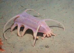 The animals commonly known as sea pigs are in fact a type of sea cucumber. Sea cucumbers are echinoderms, a group of marine animals that includes sea squirts, sponges, urchins, starfish, corals, and clams.