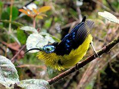 yellow bellied sunbird