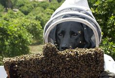 Beekeeping dog causes a buzz - HR Grapevine - Bazz is trained to sniff out American foulbrood.