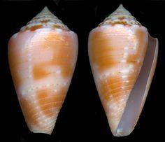 Conus mindanus Hwass 1792 - Bermuda Cone   (Image Paul Kersten)    Distribution: Brazil to Costa Rica, Panama, Colombia, Bermuda   Maximum size: 45 mm