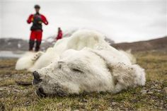 A victim of climate change? Polar bear found starved to death looked 'like a rug' - World News  This so breaks my heart. I love polar bears, and knowing that they are starving -- probably in droves -- because of the uncharacteristic ice melting just tears me up. And not much we can do about it, not in the short term.