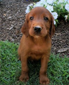 Irish Setter puppy... okay, I'm clearly obsessed with getting a dog.