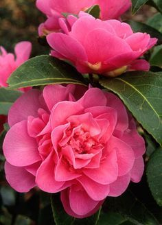 Camellia x williamsii 'Debbie' ~ New Zealand, 1966