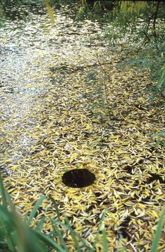 Andy Goldsworthy, Floating Hole, 1986.