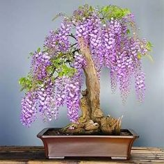How I wish I could recreate this Wisteria Bonsai. For now, I am enjoying my Wisteria Bonsai made of rose quartz that my friend gave me as a gift when she visited Japan. Wisteria Sinensis, Wisteria Bonsai, Wisteria Tunnel, Wisteria Trellis, Patio Trellis, Ikebana, Plantas Bonsai, Deciduous Trees, Flowering Trees